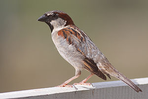 300px-House_Sparrow_mar08